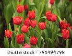 tulips in the winter of... | Shutterstock . vector #791494798