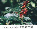 arabicas coffee tree on coffee... | Shutterstock . vector #791592352