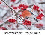 common bird bullfinch  ... | Shutterstock . vector #791634016