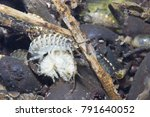 Small photo of Crustacean Amphipoda underwater photography with beautiful background. Arthropoda Gammarus pulex. Live in the river habitat. Aquarium feeds suitable for fish, reptiles, birds