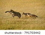 Small photo of Black-backed (silver-backed) jackals chasing spotted hyena with leg pulled from zebra carcass, Masai Mara Game Reserve, Kenya