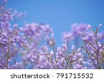 Purple Jacarandas Flowers