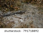 Small photo of Juvenile American alligator (alligatoridae mississippiensis) hiding in the weeds in the Louisiana swamps