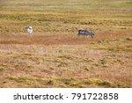 couple of wild reindeer on... | Shutterstock . vector #791722858
