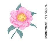 pale pink camellia japonica... | Shutterstock .eps vector #791730376