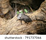 Small photo of Black clickbeetle on a tree (Latin Elateridae)