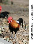 Jungle Fowl  Rooster And Hen...