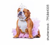 Stock photo cute bulldog dressed up in a pink tutu and a princess tiara crown isolated on a clean white 791864335