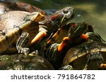 Common Slider Turtle  Wild...
