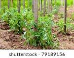 Closeup Of Rows Of Tomato...