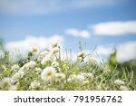 white chrysanthemum field with...   Shutterstock . vector #791956762