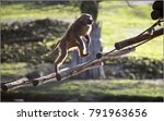 baboons often move on two limbs ... | Shutterstock . vector #791963656