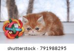 Stock photo the little red kitten stares at a toy at a window indoors without people horizontal format 791988295