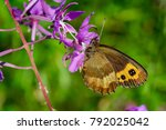 Small photo of Close-up Butterfly Erebia neriene on pink flower