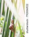 Small photo of Achatina fulica or giant African snail is large land snail. It on the green leaves of Typha angustifolia papyrus or lesser bulrush. Have copy space.