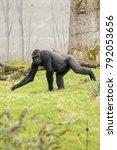 gorilla walking on grass | Shutterstock . vector #792053656
