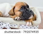 Stock photo  piercing gaze of a german boxer puppy lying in a stowage basket 792074935