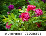 pink peony in spring  located... | Shutterstock . vector #792086536