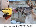 A Woman Is Feeding A Reindeer....