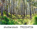 protected conifer forest in the ... | Shutterstock . vector #792214726