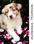 Small photo of Cute red merle australian shepherd puppy lying on the pink rose petals.