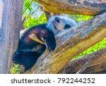 giant panda sleeping on a tree... | Shutterstock . vector #792244252