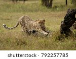 Cheetah Stretching On A Log