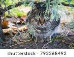 cat. beautiful  purebred cat in ...   Shutterstock . vector #792268492