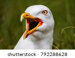 Stock photo shouting european herring gull on the island of dune near helgoland in germany 792288628