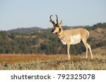 A Male Pronghorn Antelope In...