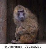 baboon sitting in wooden hut... | Shutterstock . vector #792360232