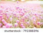 beautiful amaranth flowers on...   Shutterstock . vector #792388396