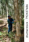 Small photo of KM Hybrid, Sook Sabah - Dec 27, 2017:Unidentified Professional Ranger of Sabah Forest Department doing some their inventory work on a tree measuring and marking, tree name in latin was acacia mangium.