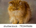 persia cat with brown  soft fur. | Shutterstock . vector #792449686