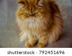 persia cat with brown soft fur. | Shutterstock . vector #792451696