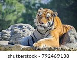 the amur or ussuri tiger  or... | Shutterstock . vector #792469138