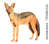 black backed jackal isolated on ... | Shutterstock . vector #792481216