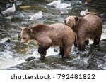 grizzly bear found on the west... | Shutterstock . vector #792481822