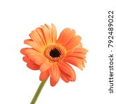 Stock photo gerbera orange flower isolated over the white background 792489022
