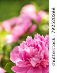 Small photo of Pink Peonie bush with big blossoms and blur background, concept greetings to pentecost