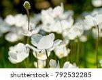 three leaved anemone  anemone...   Shutterstock . vector #792532285