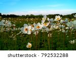 three leaved anemone  anemone... | Shutterstock . vector #792532288