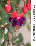 Exotic Fuchsia Flowers  Also...