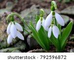 Snowdrop Spring Flowers....