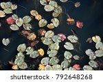 close up of water lilies on the ... | Shutterstock . vector #792648268