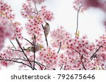 beautiful cherry blossom ... | Shutterstock . vector #792675646