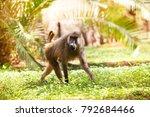 adult anubis baboon walking in... | Shutterstock . vector #792684466