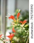 Small photo of Red indoor plant, Aeschynanthus