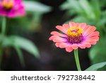 pink starburst flowers