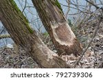 work of a beaver  beaver cut | Shutterstock . vector #792739306